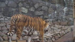 Big tiger in zoo. Wild Amur tiger in zoo.4k stock video