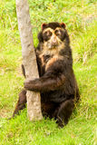 Wild Andean Bear Stock Images