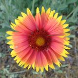 Wild Anemone - Clouseup Stock Images