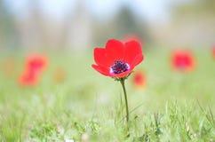 Wild Anemone Stock Images