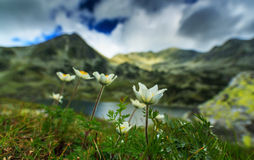 Wild anemone flowers in the Alps Royalty Free Stock Image
