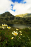 Wild anemone flowers in the Alps Stock Image