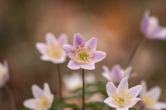 Wild anemone nemorosa or wood anemone flowers Stock Photo
