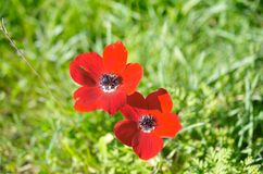 Wild Anemone (windflower) flowers blooming in the Israeli winter Stock Image