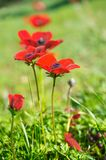 Wild Anemone (windflower) flowers blooming in the Israeli winter Stock Images