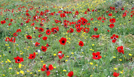 Wild anemonengebied Stock Afbeeldingen