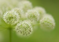 Wild Angelica Royalty Free Stock Images