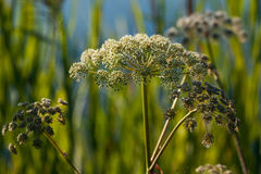 Wild angelica Angelica sylvestris plant Royalty Free Stock Photos