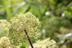Wild Angelica. Umbel with seeds of a wild angelica (Angelica sylvestris royalty free stock photography