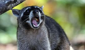 Wild angry raccoon in the jungle of Costa Rica waiting for food. Showing theet royalty free stock images