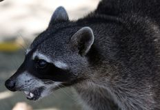 Wild angry raccoon in the jungle of Costa Rica waiting for food. Showing theet Royalty Free Stock Photos