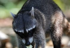 Wild angry raccoon in the jungle of Costa Rica waiting for food. Showing theet Royalty Free Stock Photography