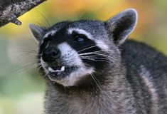 Wild angry raccoon in the jungle of Costa Rica waiting for food. Showing theet Stock Photos