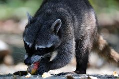 Wild angry raccoon in the jungle of Costa Rica waiting for food. Showing theet Stock Photo