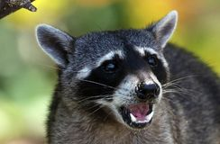 Wild angry raccoon in the jungle of Costa Rica waiting for food. Showing theet Royalty Free Stock Image