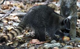 Wild angry raccoon in the jungle of Costa Rica waiting for food. Showing theet Royalty Free Stock Photo