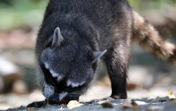 Wild angry raccoon in the jungle of Costa Rica waiting for food. Showing theet Stock Photography