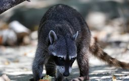 Wild angry raccoon in the jungle of Costa Rica waiting for food. Showing theet Stock Image