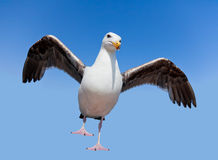 Wild angry seagull Royalty Free Stock Image