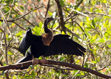 wild anhinga Arkivbild