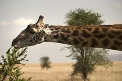 Wild animal in africa, serengeti national park Royalty Free Stock Image