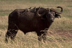 Wild animal in africa, serengeti national park. Buffalo living in the serengeti national park, tanzania - africa Stock Images