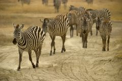 Wild animal in africa, serengeti national park Stock Photo