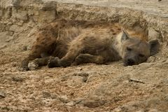 Wild animal in africa, serengeti national park. Hyena living in the serengeti national park, tanzania - africa Stock Photos