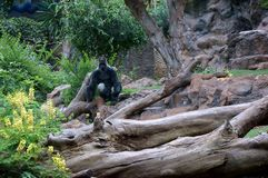 A huge gorilla sitting on a branch against the background of the rock. Wild animal against the background of the rock. A huge gorilla sitting on a branch near a royalty free stock photography