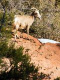 Wild Animal Alpine Mountain Goat Sentry Protecting Band Flank Royalty Free Stock Photos