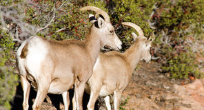 Wild Animal Alpine Mountain Goats Searching for Food High Forest Royalty Free Stock Images