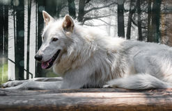 Wild animal arctic white wolf. Lying close-up Stock Image