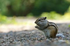Asian Chipmunk Tamias sibiricus sits on a summer day. Wild animal. Asian Chipmunk Tamias sibiricus sits on a forest trail, on a summer day Stock Photo