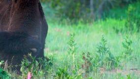 Wild Animal Buffalo Bull Male Charges Photographer Yellowstone National Park
