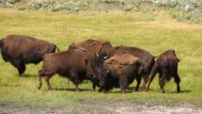 Wild Animal Buffalo Bull Males Fight Yellowstone National Park stock video footage