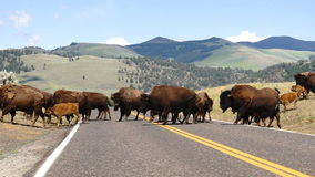 Wild Animal Buffalo Bull Males Oversee Road Crossing Yellowstone National Park stock video
