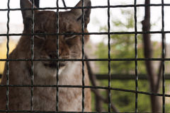 Wild animal in a cage Stock Images