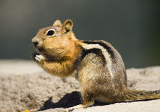 Wild Animal Chipmunk Stands Eating Filling up For Winter Royalty Free Stock Photos