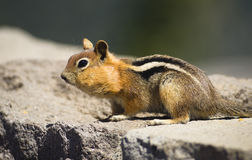 Wild Animal Chipmunk Stands Eating Filling up For Winter Hiberna Royalty Free Stock Photo