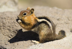 Wild Animal Chipmunk Stands Eating Preparing Winter Hibernation Royalty Free Stock Photography