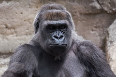 Wild animal. Closeup of an adult male gorilla back silver Royalty Free Stock Photography
