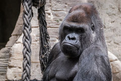 Wild animal. Closeup of an adult male gorilla back silver Stock Image