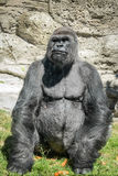 Wild animal. Closeup of an adult male gorilla back silver Royalty Free Stock Photo