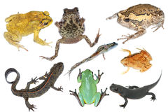 Wild animal collection amphibian Royalty Free Stock Photos