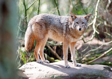 Wild Animal Coyote Stands On Rock Looking At Camera Royalty Free Stock Image
