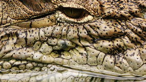 Wild Animal Crockodile Alligator in Zoo stock video