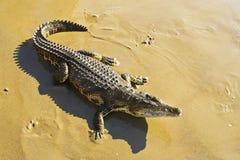 Wild animal crocodile. Wild animal crocodile on the seashore in Sunny warm weather royalty free stock photo