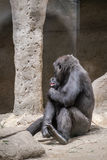 Wild animal. Female gorilla caring and pampering her breeding Royalty Free Stock Photography