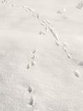 Wild animal footprints on the snow Royalty Free Stock Photo