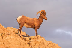 Wild Animal High Desert Bighorn Sheep Male Ram. A big game animal Bighorn Sheep stands on the rocky cliff stock photo